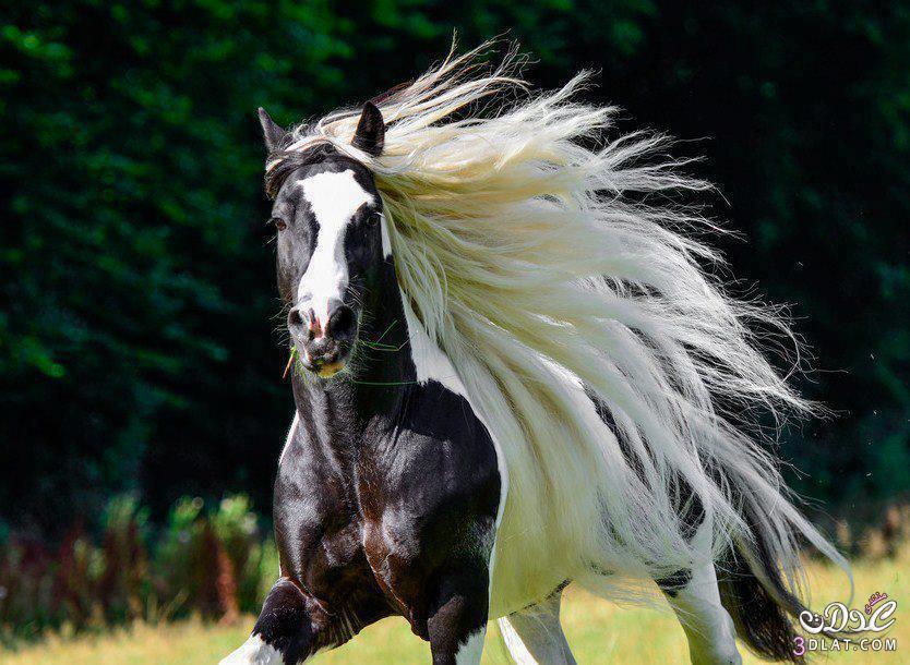 أجمل الخيول فى العالم 138629508510.jpg
