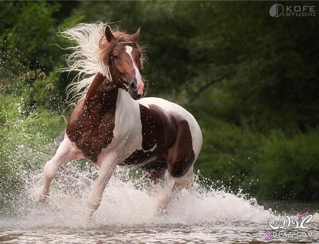 أجمل الخيول فى العالم 138629508511.jpg