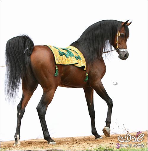 أجمل الخيول فى العالم 138629508512.jpg