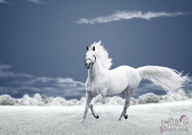 أجمل الخيول فى العالم 138629508513.jpg