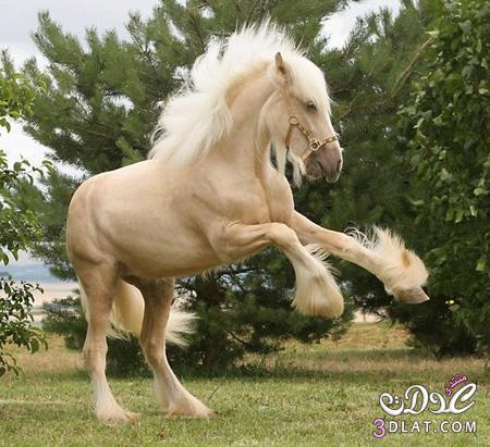 أجمل الخيول فى العالم 138629508514.jpg