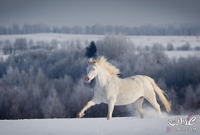 أجمل الخيول فى العالم 138629508515.jpg