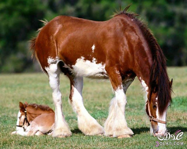 أجمل الخيول فى العالم 13862950858.jpg