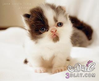 صور قطط , صور قطط جديده , صور قطط مرحه , صور قطط مضحكه 13866192897.jpg