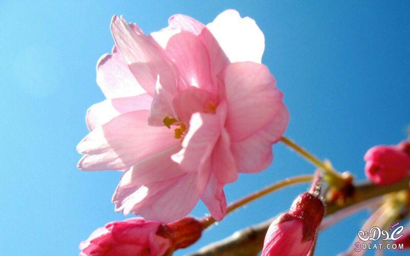 زهور الجمال المتفتحة 13875571541.jpg