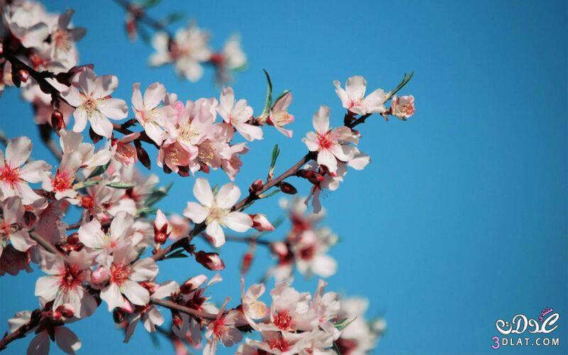 زهور الجمال المتفتحة 13875571542.jpg