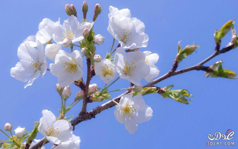 زهور الجمال المتفتحة 13875571543.jpg