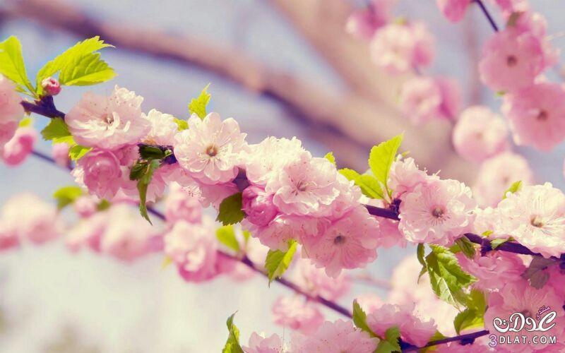 زهور الجمال المتفتحة 13875571544.jpg