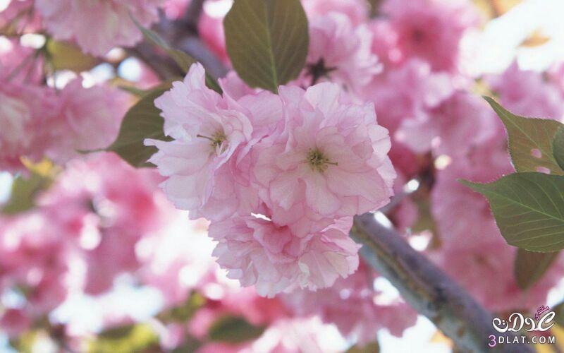 زهور الجمال المتفتحة 13875571545.jpg