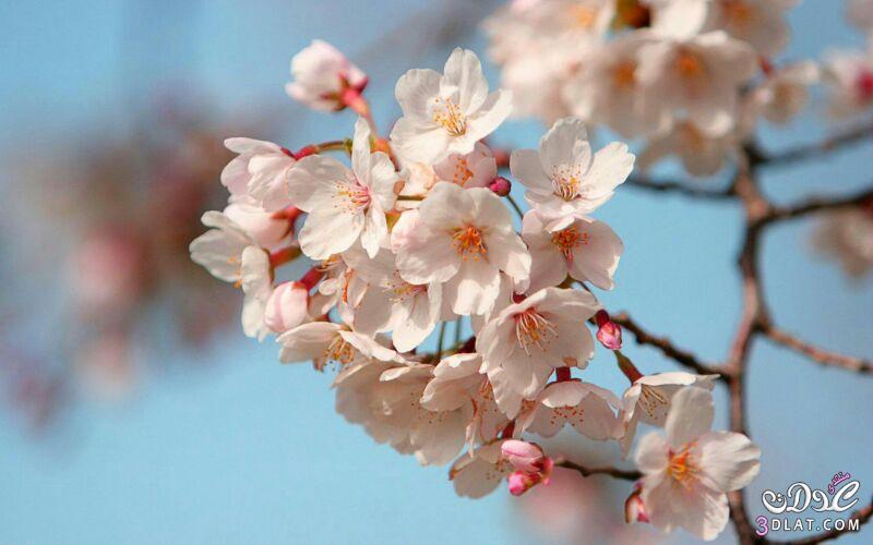 زهور الجمال المتفتحة 13875571546.jpg