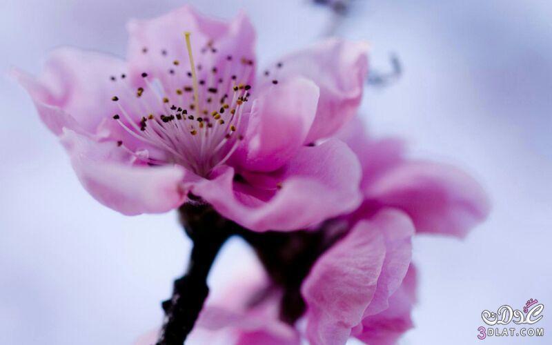 زهور الجمال المتفتحة 13875571547.jpg