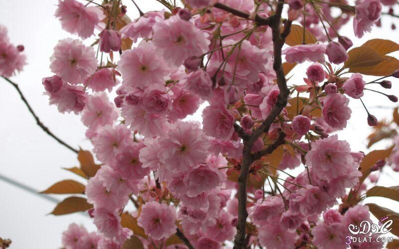 زهور الجمال المتفتحة 13875571548.jpg