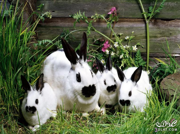 صور أرانب , صور أرانب كيوت, صور أرانب جميلة 13875732742.jpg
