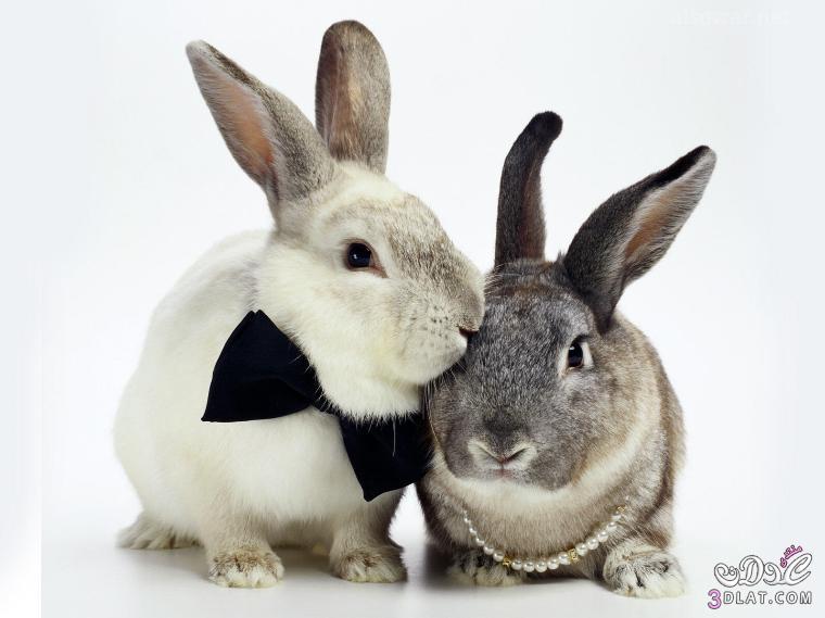صور أرانب , صور أرانب كيوت, صور أرانب جميلة 13875732743.jpg