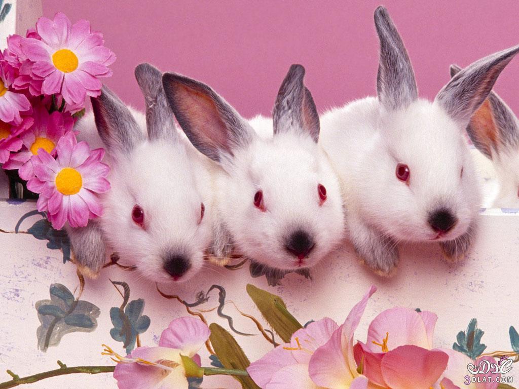 صور أرانب , صور أرانب كيوت, صور أرانب جميلة 13875732744.jpg