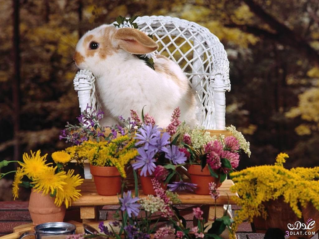 صور أرانب , صور أرانب كيوت, صور أرانب جميلة 13875732755.jpg