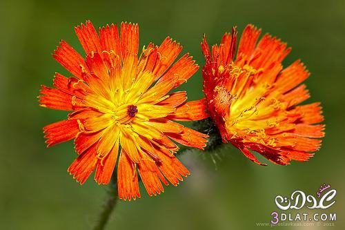 صور من الطبيعه صور ورد صور ورود جميله صور طبيعيه منوعه 13876592305.jpg