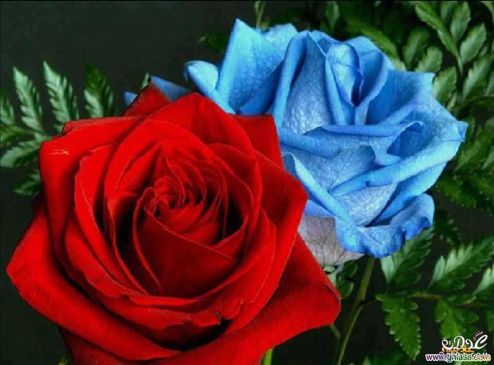 صور ورد بلدى جميل ولاأجمل من كده اجمل صور ورد بلدى 13879307533.jpg