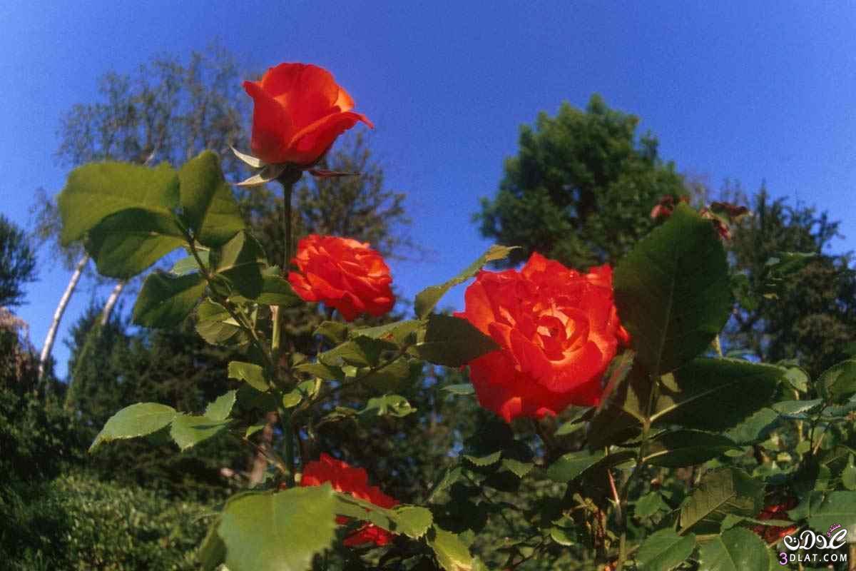 صور ورد بلدى جميل ولاأجمل من كده اجمل صور ورد بلدى 13879307534.jpg