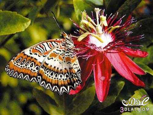 صور لفراشات رائعة من الطبيعة 13879926251.jpg