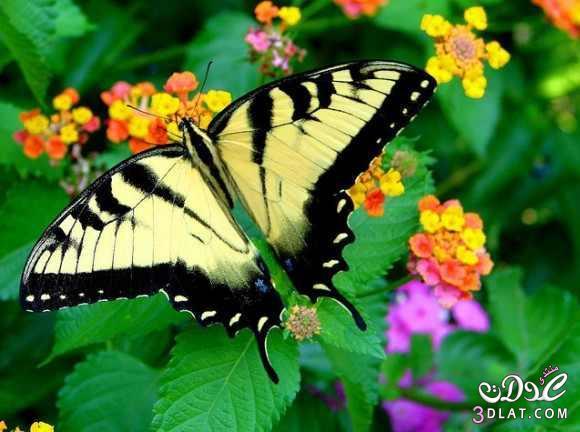 صور لفراشات رائعة من الطبيعة 13879926252.jpg