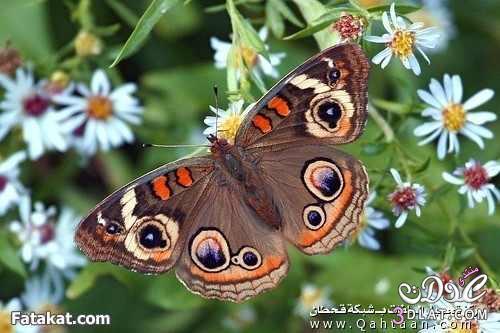 صور لفراشات رائعة من الطبيعة 13879926263.jpg