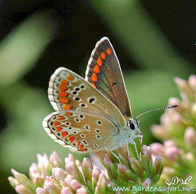 صور لفراشات رائعة من الطبيعة 13879926264.jpg