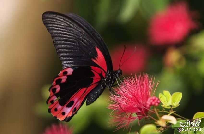 صور لفراشات رائعة من الطبيعة 13879926265.jpg