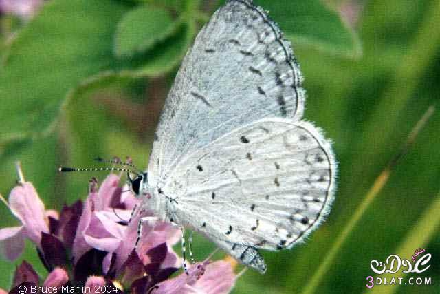 صور لفراشات رائعة من الطبيعة 13879926266.jpg