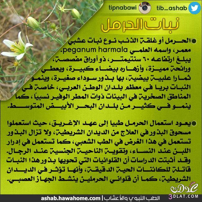 نبات الحرمل, ماهو الحرمل, عشبة الحرمل, فائدة الحرمل 13884368471.jpg