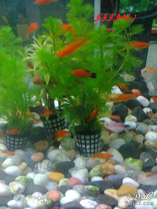 [بعدستي] صور أسماك الزينه ,صور احواض السمك من تصويرى, حوض سمك الزينه, أسماك زينه ملون 13887834043.jpg