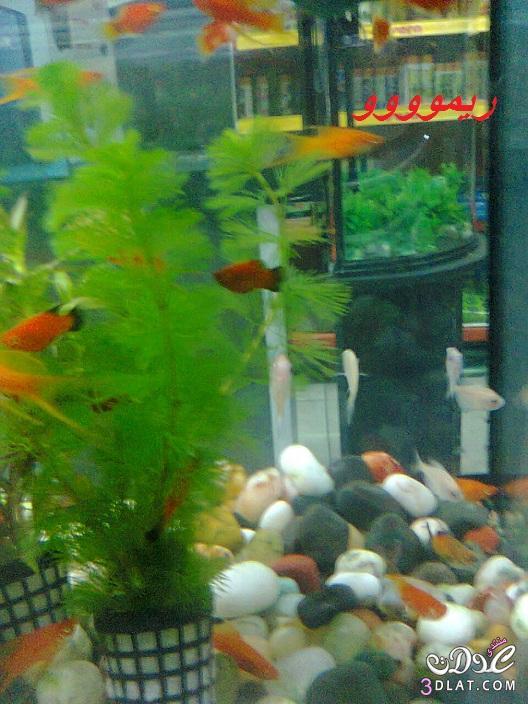 [بعدستي] صور أسماك الزينه ,صور احواض السمك من تصويرى, حوض سمك الزينه, أسماك زينه ملون 13887834044.jpg