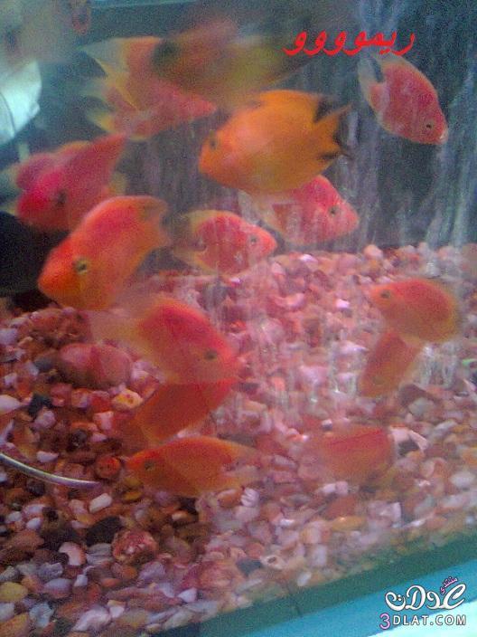 [بعدستي] صور أسماك الزينه ,صور احواض السمك من تصويرى, حوض سمك الزينه, أسماك زينه ملون 13887834047.jpg