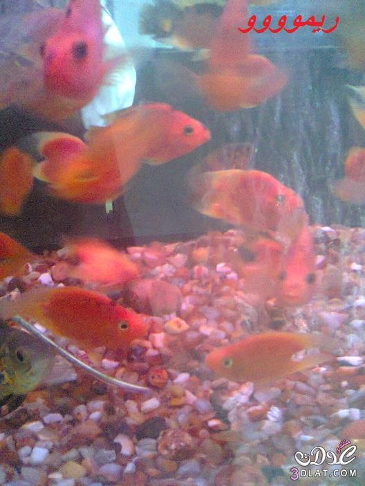 [بعدستي] صور أسماك الزينه ,صور احواض السمك من تصويرى, حوض سمك الزينه, أسماك زينه ملون 13887834058.jpg