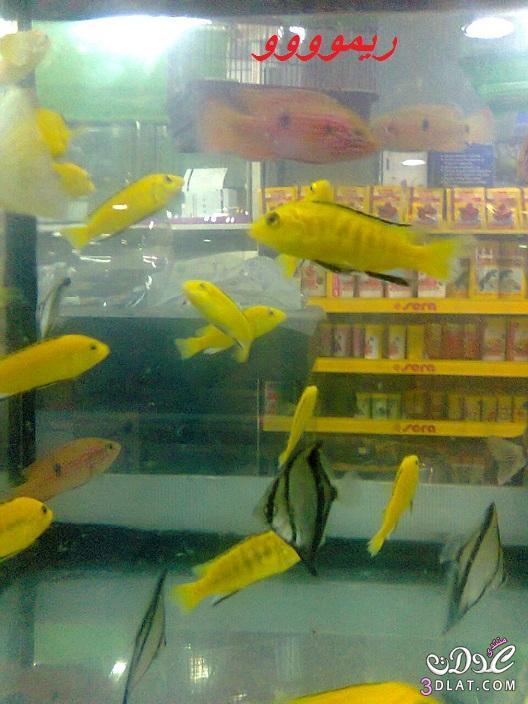 [بعدستي] صور أسماك الزينه ,صور احواض السمك من تصويرى, حوض سمك الزينه, أسماك زينه ملون 13887834059.jpg