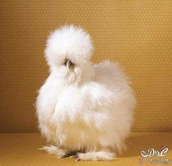 الدجاج الحريرى
