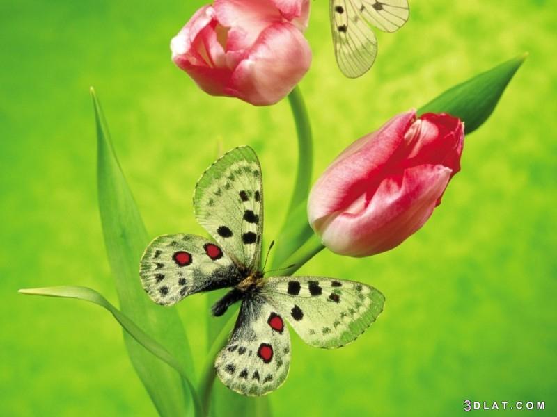 الفراشات وحياتها..صور فراشات بديعة فراشات مختلفة 3dlat.com_02_18_c055