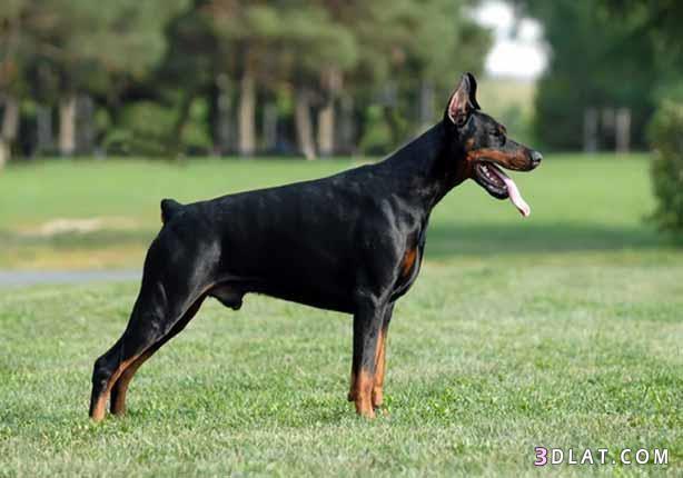حصريا أخطر أشرس أنواع الكلاب ومعلومات 3dlat.com_08_18_6f65