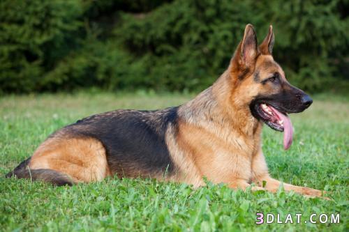حصريا أخطر أشرس أنواع الكلاب ومعلومات 3dlat.com_08_18_dff4