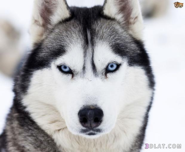 حصريا أخطر أشرس أنواع الكلاب ومعلومات 3dlat.com_08_18_fdb1