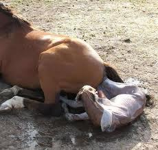 اللحظات الاولى حياه الحصان,ولاده الحصان,صور