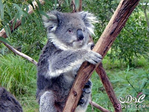 صور حيوان الكوالا صور جميلة لحيوان الكوالا 3dlat.com_1389897131