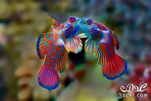 اسماك ملونة ,صور اسماك الزينة