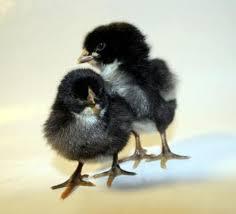 الدجاج الأسود