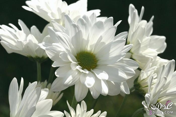 صور ورود طبيعية 2014,مناظر جميلة من الطبيعة,أزهار وورود رومانسية جميلة 3dlat.com_1390174244