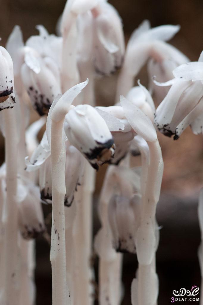 نبات الشبح