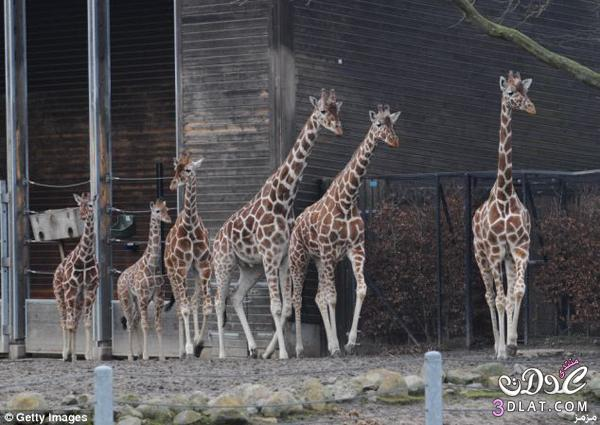 حارس حديقة حيوان دنماركية زرافة