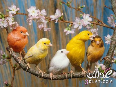 طيور الكنارى معلومات طيور الكنارى