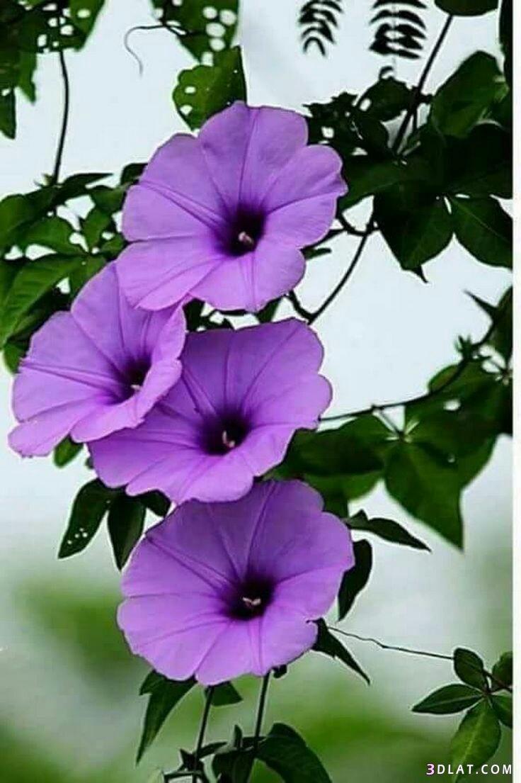 ورود وازهار مبهجة بألوان رائعه.احدث صورالزهور 3dlat.com_13_18_6890