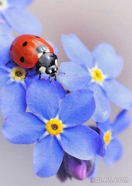 ورود وازهار مبهجة بألوان رائعه.احدث صورالزهور 3dlat.com_13_18_8bff